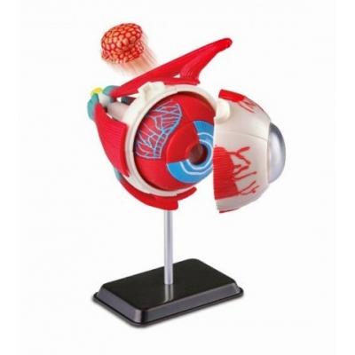 SK007 Анатомическая модель Глаз человека 14 см Edu-Toys