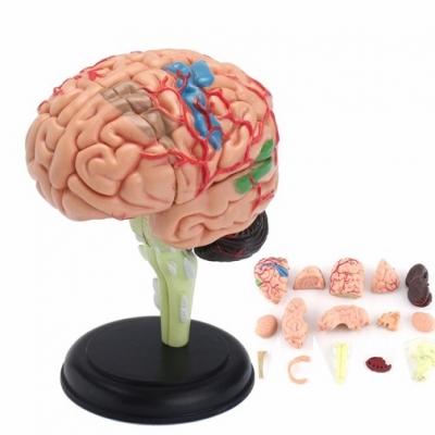 SK003 Анатомическая модель Мозг человека 4D