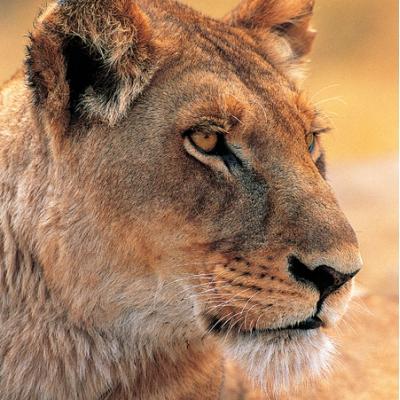 9916445 Настольная игра Набор Пазл 3 в 1 (гепард, тигр, лев) Nat Geo Wild Uncle Milton