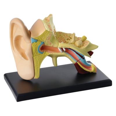 SK012 Анатомическая модель Ухо человека 8 см Edu-Toys