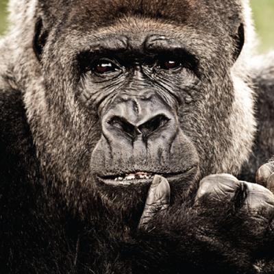 9916446 Настольная игра Набор Пазл 3 в 1 (слон, горилла, дельфин) Nat Geo Wild Uncle Milton