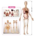 Купить MK064 Анатомическая модель беременной женщины Edu-Toys