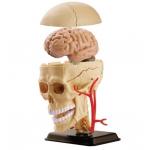 SK010 Модель черепа человека Edu-Toys