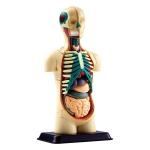 Купить SK008 Модель тела человека Edu-Toys