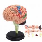 Купить SK003 Анатомическая модель Мозг человека 4D