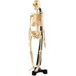 SK038 Модель скелета человека (разборная)  Edu-Toys