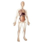 MK002 Анатомический набор 50 см Edu-Toys