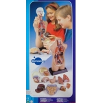 MK050 Анатомическая модель 50 см Edu-Toys