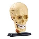 Купить SK010 Модель черепа человека Edu-Toys