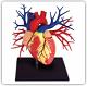 Купить анатомическую модель тела